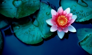 Lotus Flower India