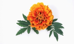 Marigold Flower India